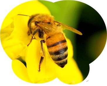 ミツバチは集団による一斉攻撃をする性質があり危険です。