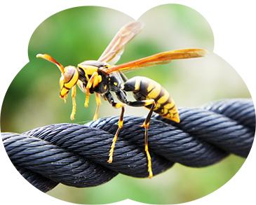 アシナガバチは当社駆除件数No.1の蜂です。スズメバチ程の毒性はないが、刺されると死に至るケースもあります。