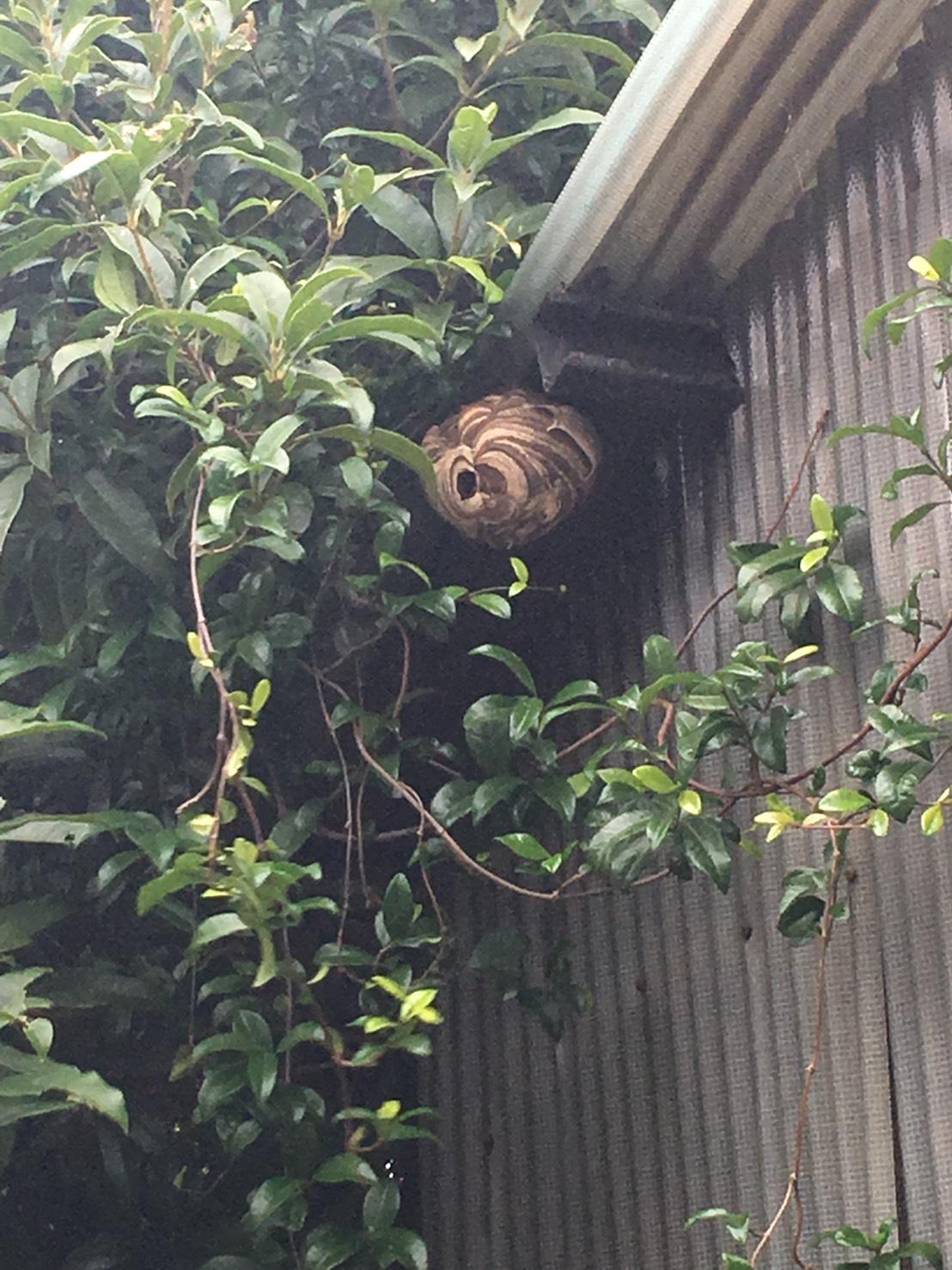 千葉県柏市にて蜂の巣駆除依頼入りました!~7月4日~