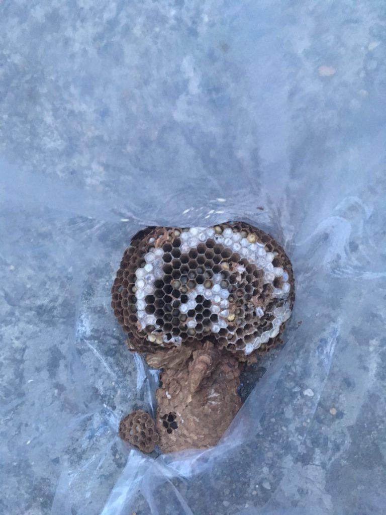 【千葉県柏市】7月20日、アシナガバチの駆除依頼がありました【場所:シャッターのすき間】