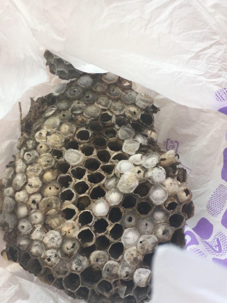 【千葉県鎌ケ谷市】8月14日、アシナガバチの蜂の巣駆除依頼がありました【場所:木の中】