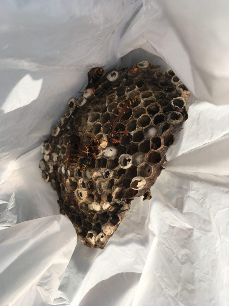【千葉県柏市豊四季】8月28日、アシナガバチの蜂の巣駆除依頼がありました【場所:倉庫脇】