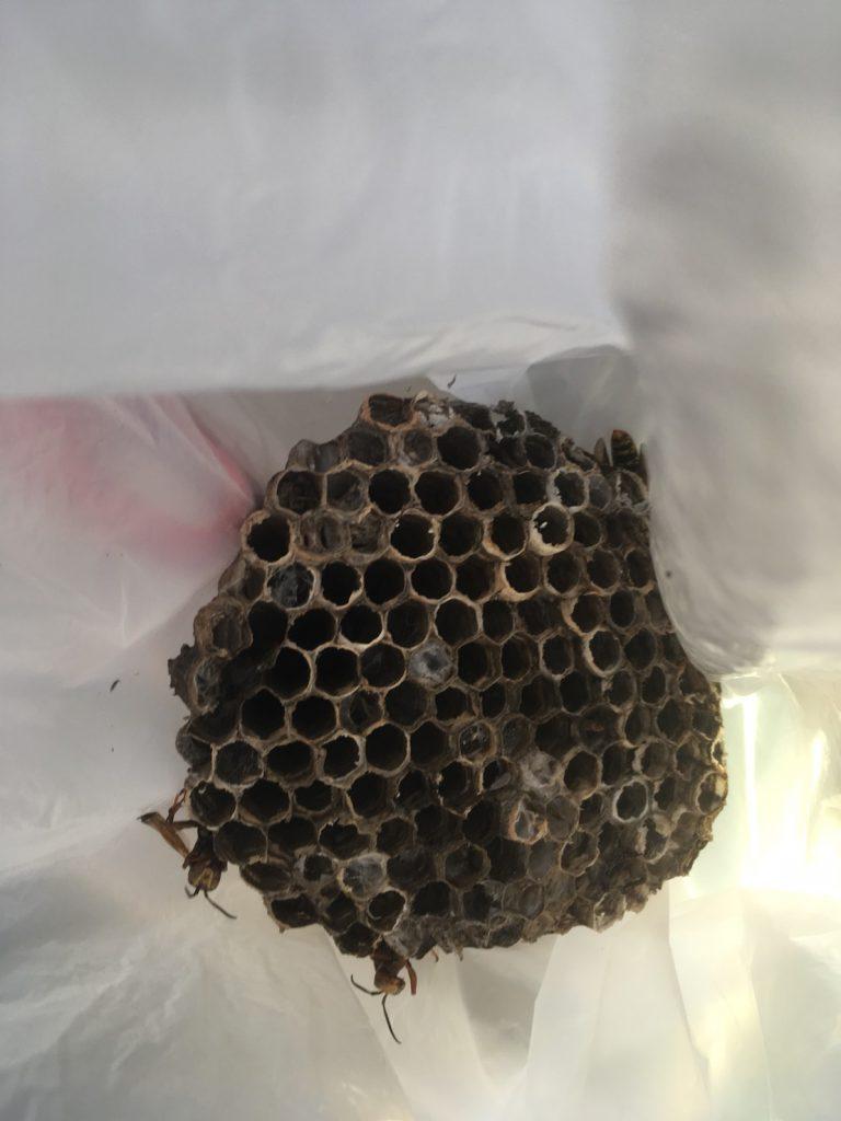 【千葉県柏市若柴】9月5日、アシナガバチの蜂の巣駆除依頼がありました【場所:2階軒下】