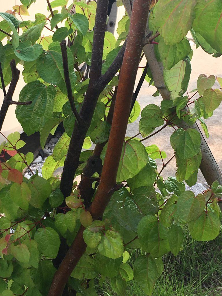 千葉県柏市正蓮寺の蜂の巣駆除現場