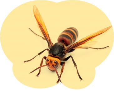 スズメバチは性格も攻撃的で毒性も強く、最も危険な蜂です。