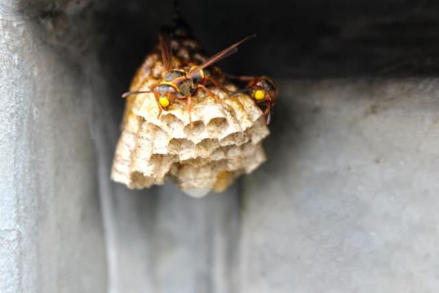 千葉県の蜂の巣駆除・柏市から毎日依頼入っています!
