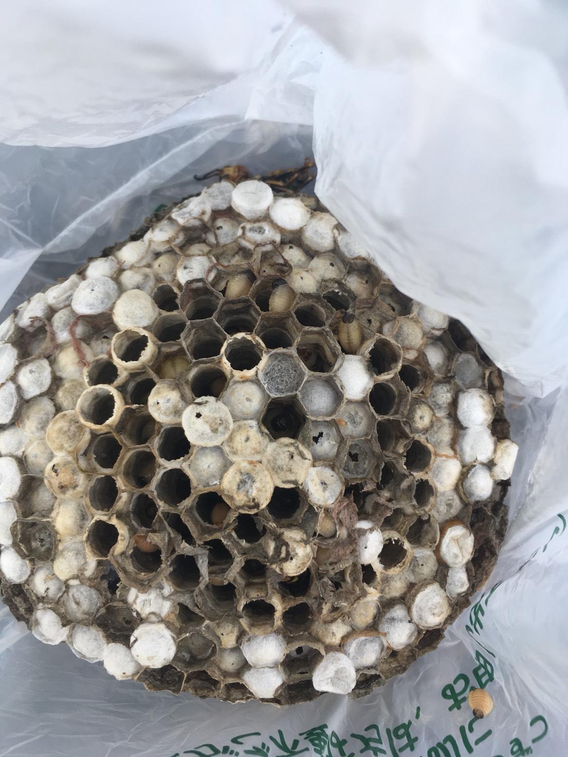 【千葉県柏市増尾】7月31日、アシナガバチの蜂の巣駆除依頼がありました【場所:ベランダ下】