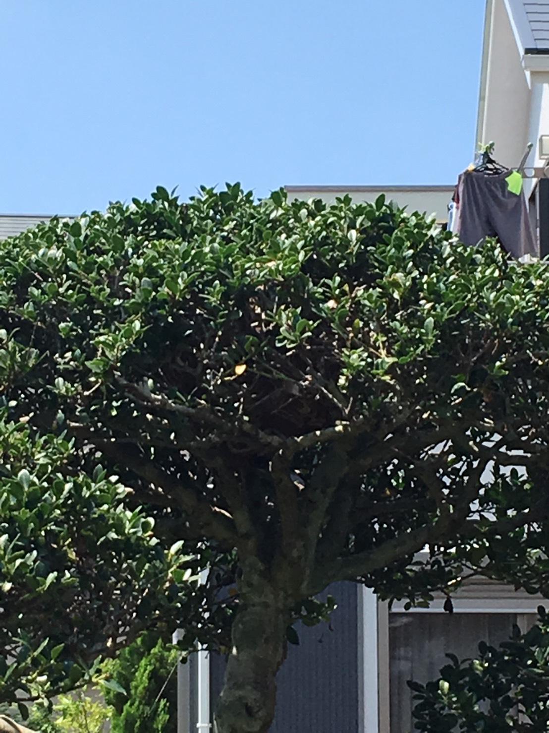 千葉県柏市柏の蜂の巣駆除現場