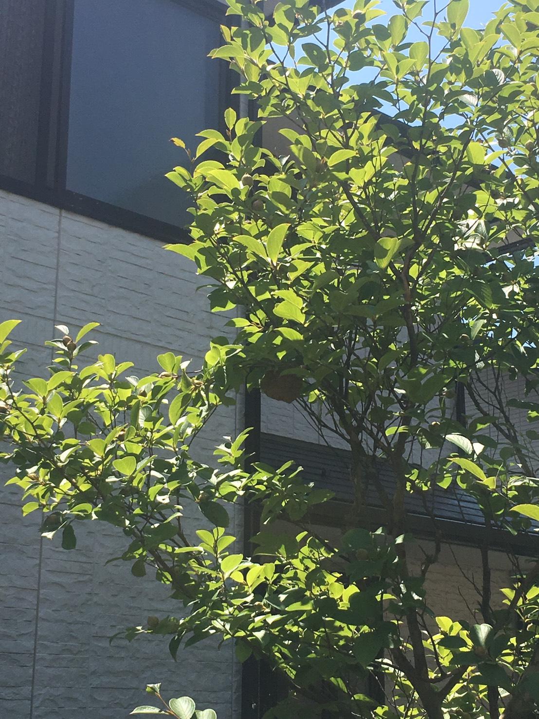 千葉県柏市しいの木台の蜂の巣駆除現場