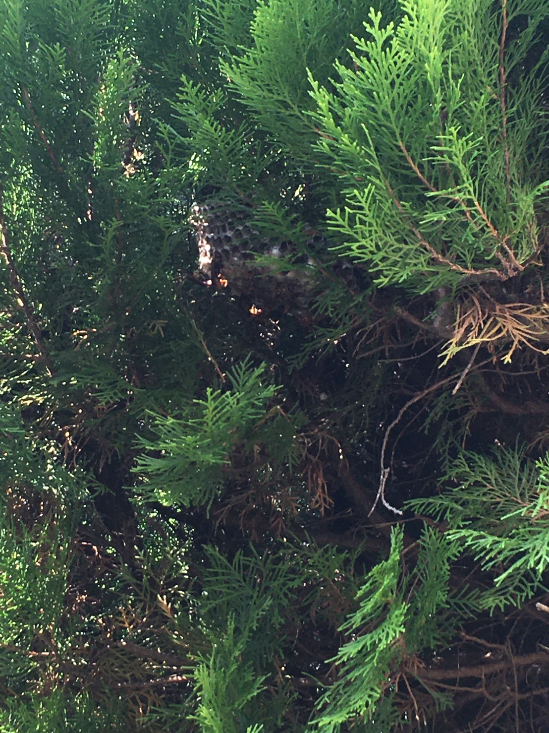 千葉県柏市豊四季の蜂の巣駆除現場